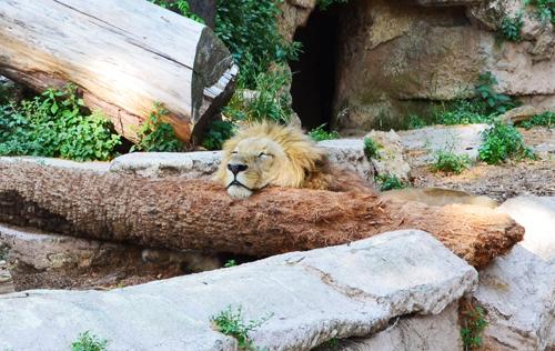 spain_lion